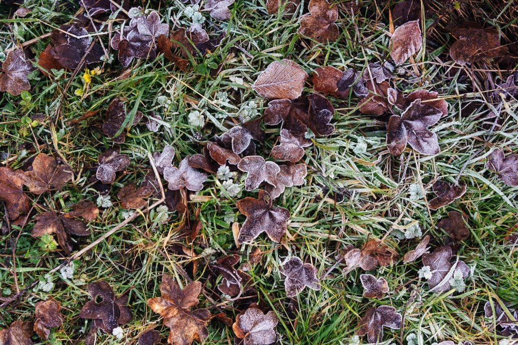 Frosted leaves documentary photography