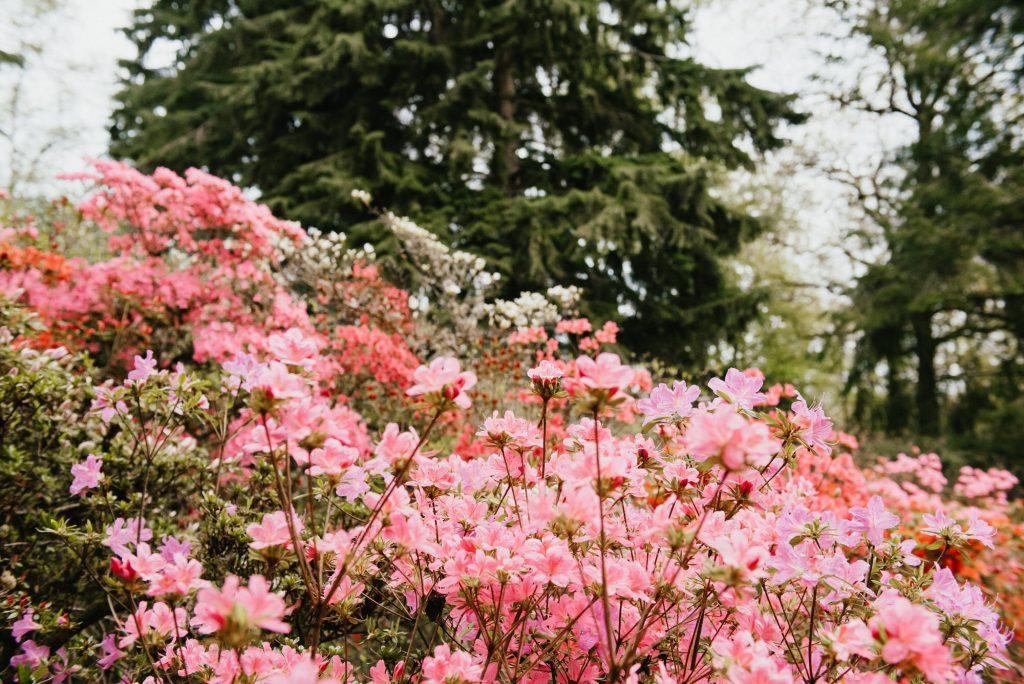 Pink Flowers at Winkworth Arboretum