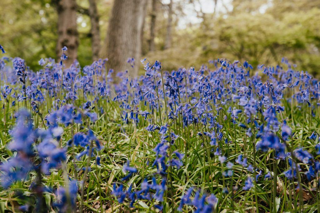 Winkworth Arboretum National Trust Blue Bells